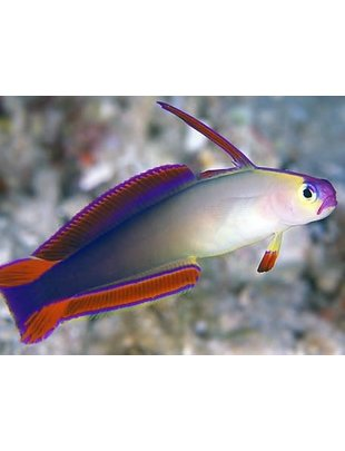 Goby - Firefish PURPLE Dartfish (Md)