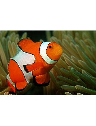 Clownfish - Percula