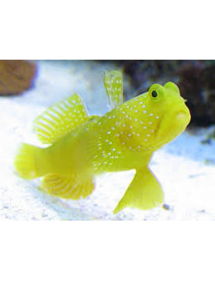 Goby - Yellow Watchman Prawn