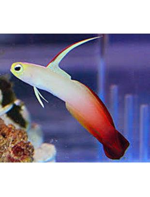 Goby - Firefish Dartfish