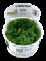 Tropica Salvinia auriculata (Cup)
