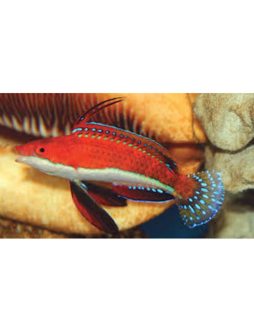 Wrasse - Fairy Red and Blue Ruby Longfin (Md)