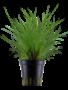 Tropica Eleocharis parvula - Potted