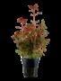 Tropica Ludwigia palustris - Potted