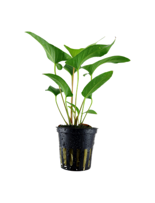Tropica Anubias gracilis - Potted