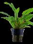Tropica Cryptocoryne Wendtii 'Green' - Potted