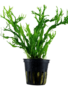 Tropica Microsorum pteropus 'Windeløv' - Potted