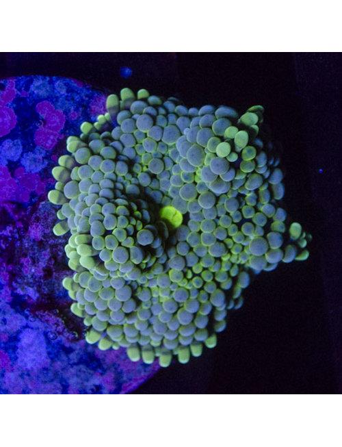 Coral - Frag - Ricordia Mushroom Green