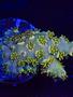 """Coral - Frag - Acropora Green (3/4"""")"""