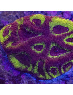 Coral - Frag - Favia Purple Green
