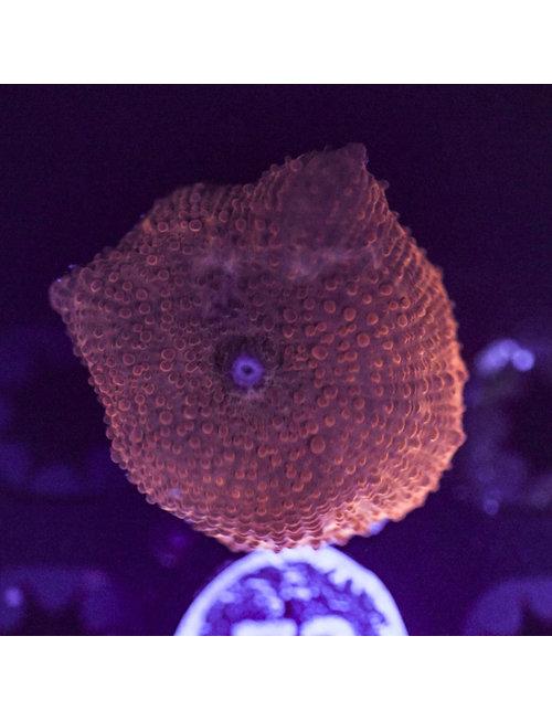 Coral - Frag - Mushroom Discosoma Red