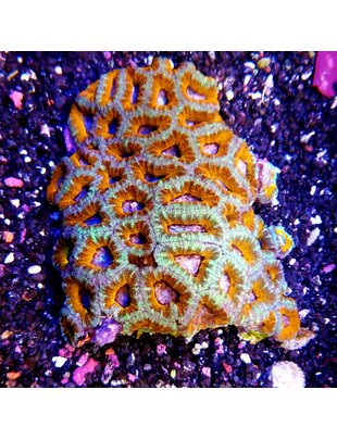 Coral - Acan Lord Grade A