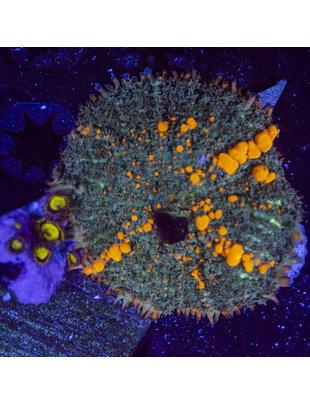Coral - Frag - BOUNCE Mushroom, Sunkist