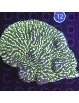 Coral - Merulina Ruffled Coral