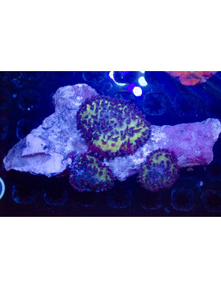 Coral - Mushroom Colony, Hairy
