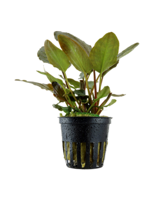 Tropica Lagenandra Meeboldii 'Red' - Potted (Tropica)