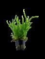 Tropica Microsorum pteropus 'Trident' - Potted (Tropica)