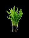 Tropica Microsorum pteropus - Potted (Tropica)