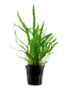 Tropica Microsorum pteropus 'Narrow' - Potted (Tropica)