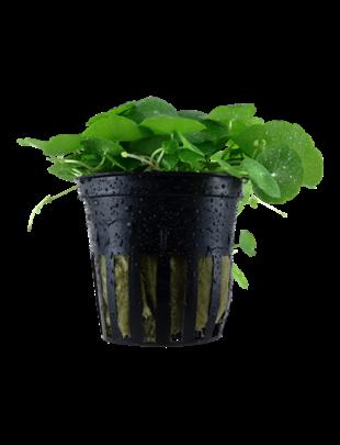 Tropica Hydrocotyle Verticillata- Potted (Tropica)