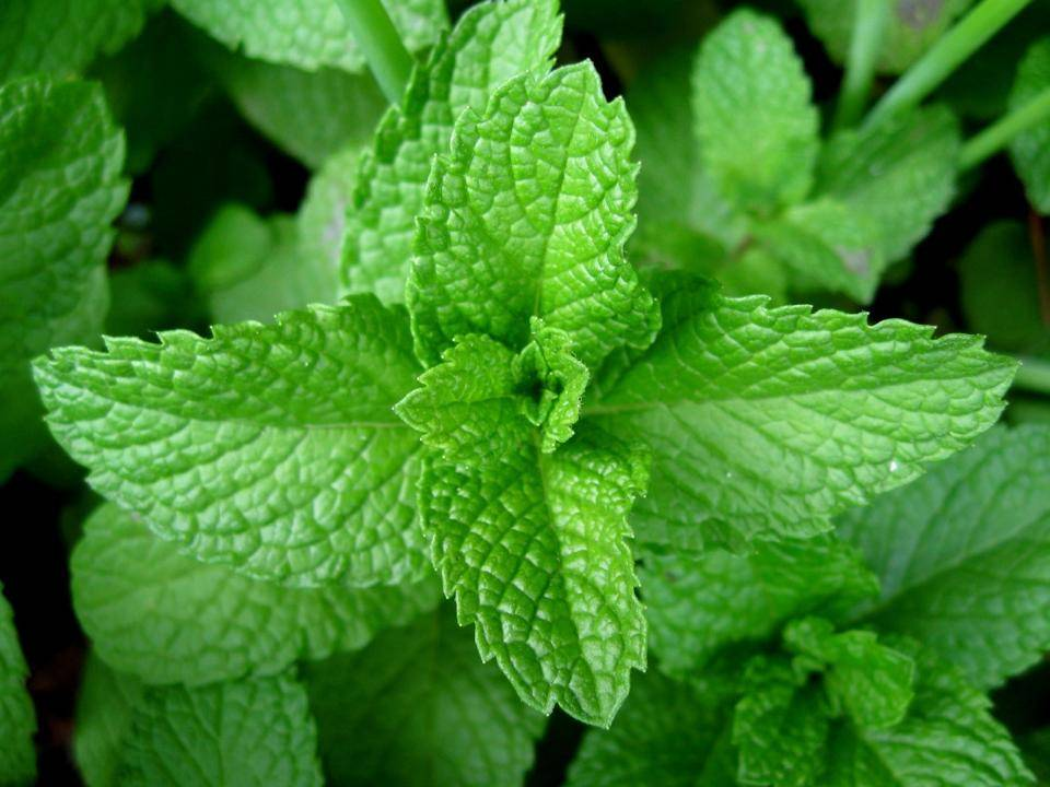 Canada Ejuice Peppermint