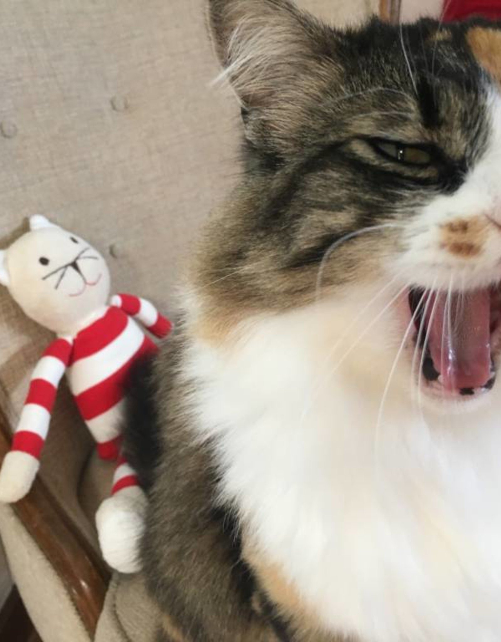 Shashie the Cat