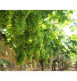 2019 Chilean Muscat 6 Gal. Juice (White)