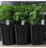 Hop Plant - Oregon Cluster