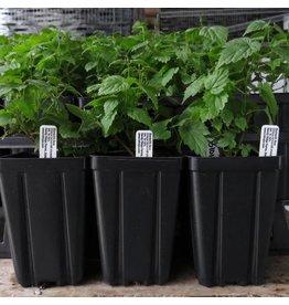 Hop Plant - Zatecki Cerveni