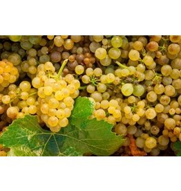 Chilean Pino Gris 6 Gal. Juice (White)