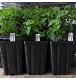 Hop Plant - Comet