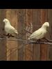 HomArt Antique Paper Pigeon - Lrg - Vintage Paper