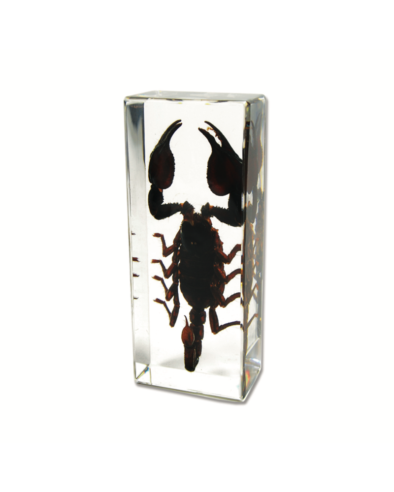The Real Insect Co Black Scorpion Paperweight