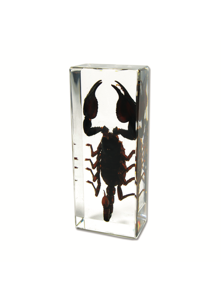 The Real Insect Co Black Scorpion Paperweight Large