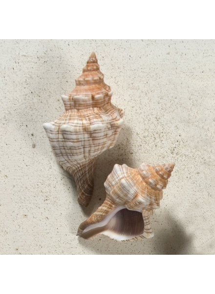 HomArt Seashell - Fox Shell - Set of 4