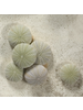 HomArt Seashell - Green Urchin - Set of 12