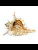 HomArt Seashell - Ramosa Murex