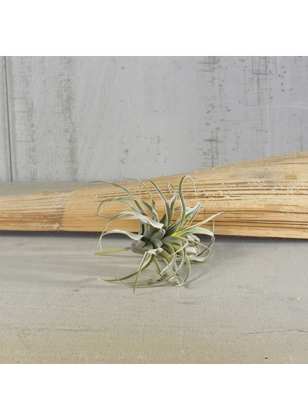 HomArt Medium Faux Tillandsia