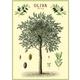 Australia Poster/Giftwrap - Olive Tree#