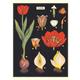 Australia Poster/Wrap - Tulip
