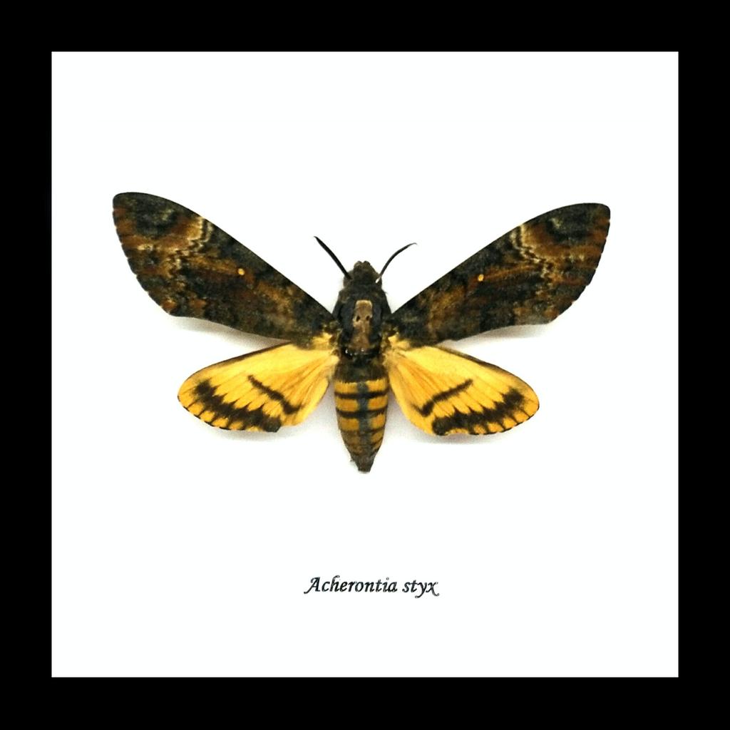 Australia Acherontia styx aka Deaths Head hawk moth. Black frame 14.5cm x 14.5cm.