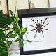 Australia Eurypelma spinicrus 14.5 x 14.5