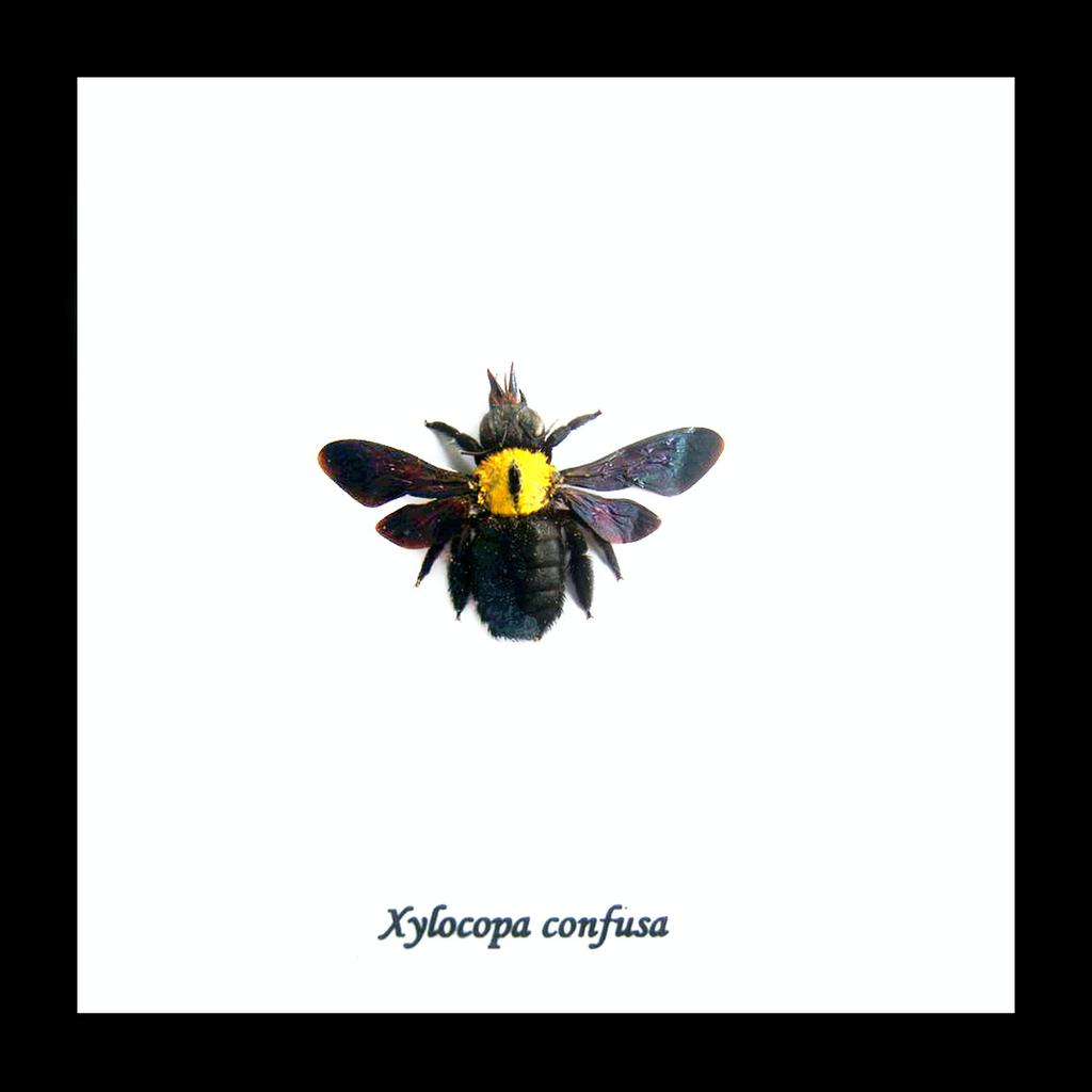 Australia Xylocopa confusa bee in black frame 14.5x14.5
