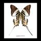Australia Graphium androcles Black frame 16.5cm x 16.5cm