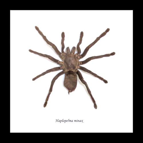 Australia Haplopelma minax spider med n black frame 16.5x16.5