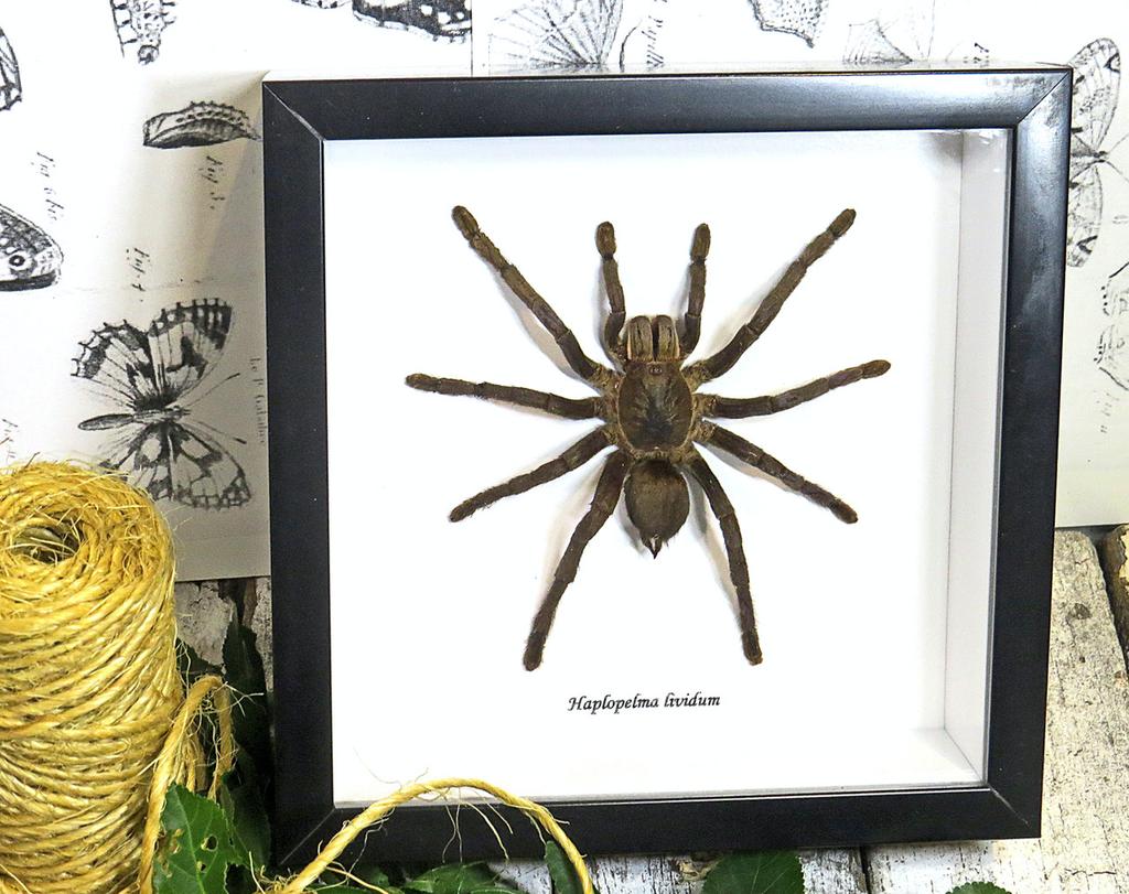 Australia Haplopelma lividum black frame 18.5x18.5