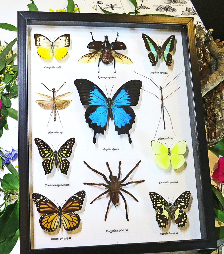Australia 12 x assorted Australian sp. butterfly and bug 33.5x37.5cm black frame