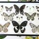 Australia Black & White butterfly asstd landscape in black frame 30.5x50.5cm