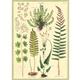 Australia Poster/ Wrap - Ferns #
