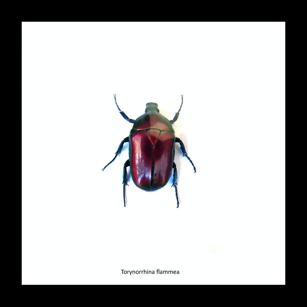 Australia Torynorrhina flammea red in black frame 14.5x14.5cm